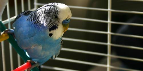Parakeet Life Span